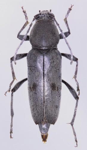 Chlorophorus glaucus hembra
