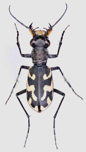 Cephalota hispanica