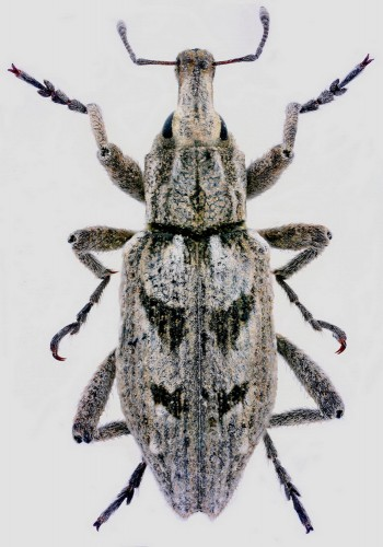Coniocleonus cicatricosus