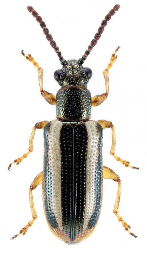 Crioceris macilenta