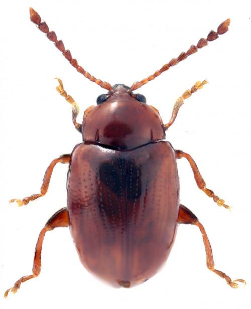 Orestia punctipennis