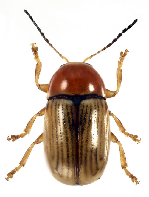 Cryptocephalus luridicollis