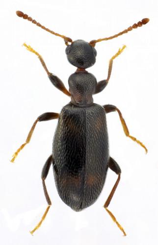 Cyclodinus constrictus