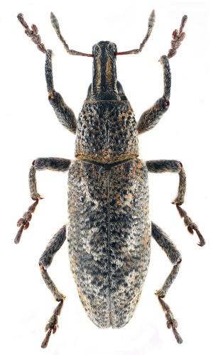 Cyphocleonus testatus