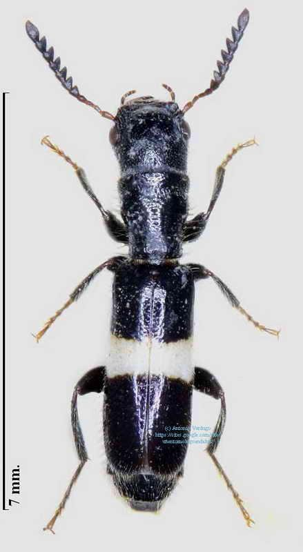 Denops canariensis
