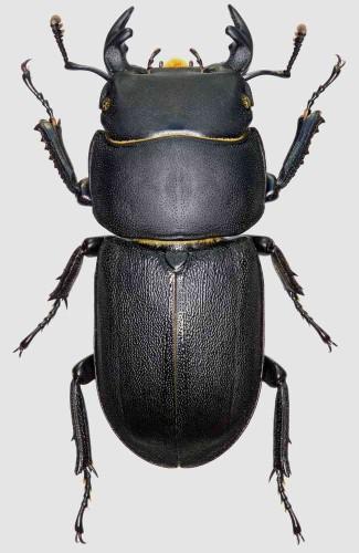 Dorcus parallelipipedus