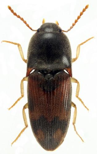 Drasterius bimaculatus