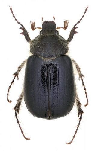 Elaphocera heydeni