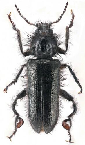 Enicopus distinguendus