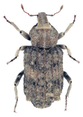 Entomoderus sp.