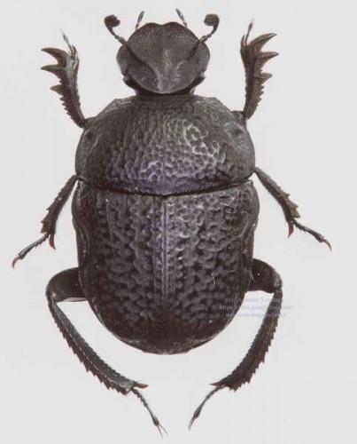 Gymnopleurus flagellatus
