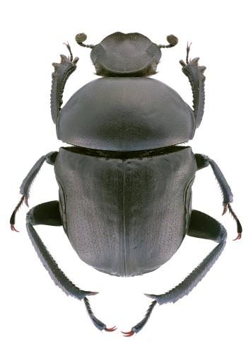 Gymnopleurus sturmi