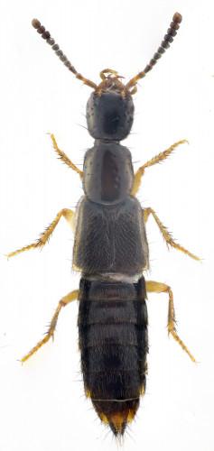 Gabrius nigritulus