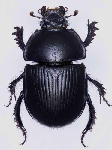 Geotrupes ibericus