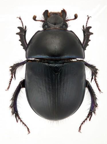 Sericotrupes niger