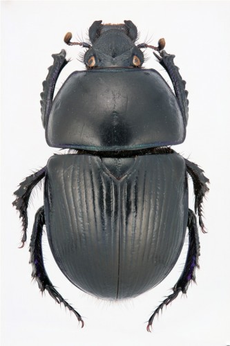 Geotrupes spiniger
