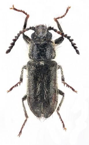 Graellsinus praticola