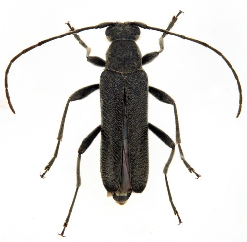Grammoptera abdominalis