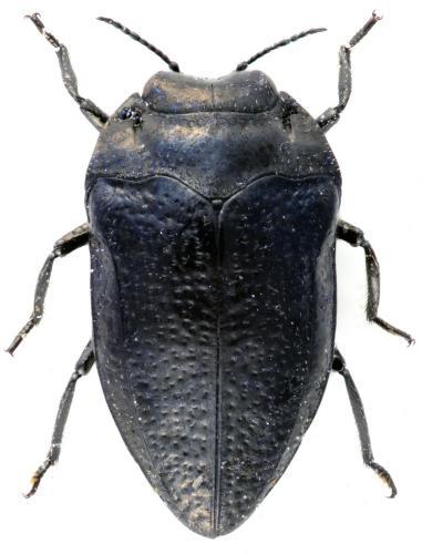 Habroloma nanum