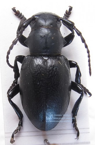 Iberodoradion (B.) iserni