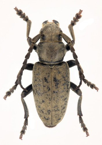 Iberodorcadion (B.) atlantis