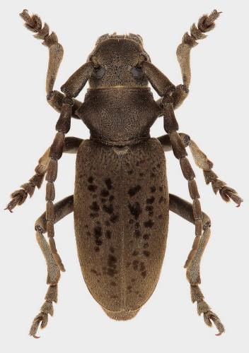 Iberodorcadion (B.) chiqui