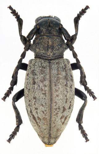 Iberodorcadion (B.) marmottani hembra