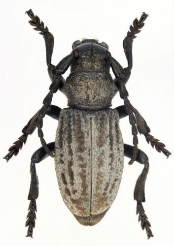 Iberodorcadion (B.) marmottani macho gris