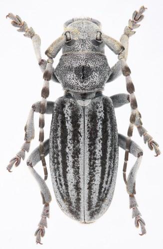 Iberodorcadion (B.) mucidum mucidum