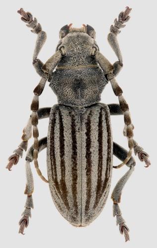 Iberodorcadion (B.) mucidum rondense