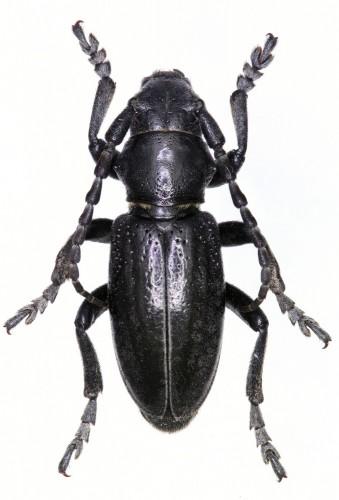 Iberodorcadion (B.) segurense