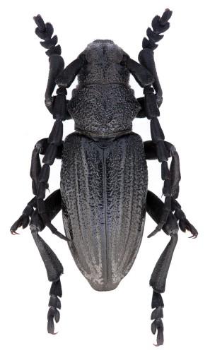 Iberodorcadion (I.) castilianum