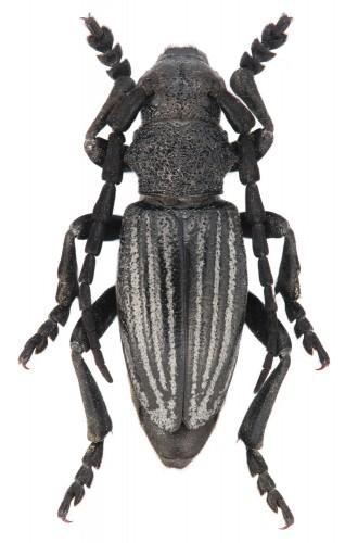 Iberodorcadion (I.) castilianum ardoisi
