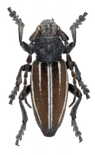 Iberodorcadion (I.) fuliginator