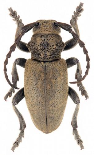 Iberodorcadion (I.) mimomucidum