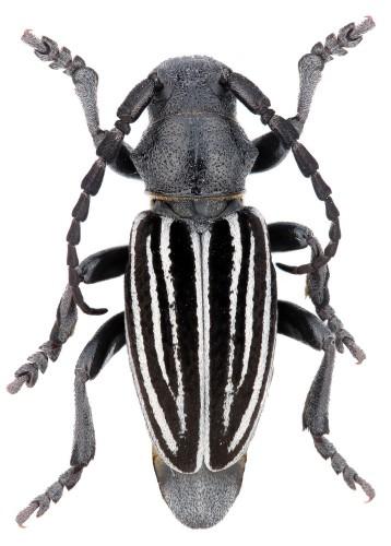 Iberodorcadion (I.) pyrenaeum