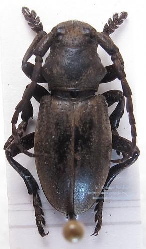 Iberodorcadion (B.) lorquini cobosi