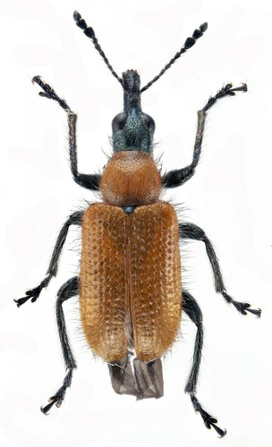 Lasiorhynchites caeruleocephalus