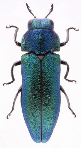 Meliboeus amethystinus