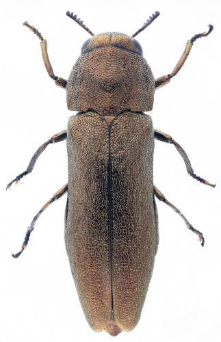 Meliboeus gibbicollis