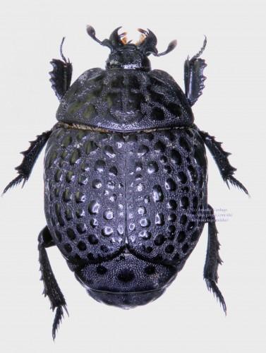 Coleoptera Histeridae