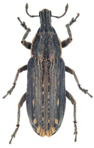 Mecaspis emarginatus