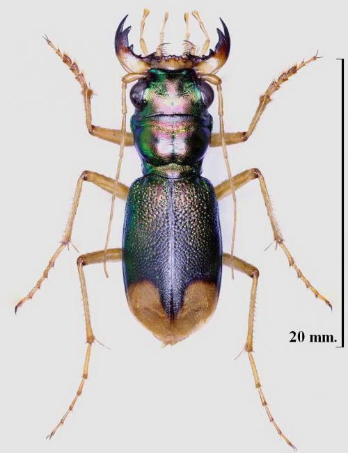 Megacephala euphratica