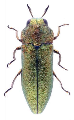 Meliboeus granulatus