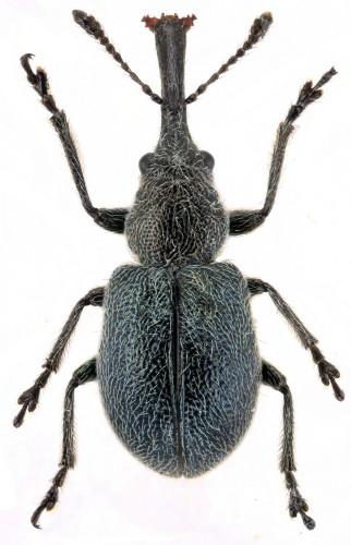 Mesauletobius pubescens