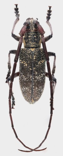 Monochamus galloprovincialis