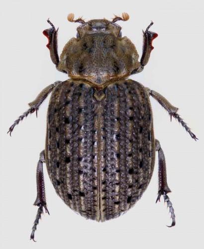 Omorgus suberosus