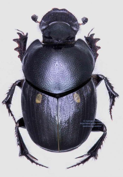 Onthophagus albarracinus