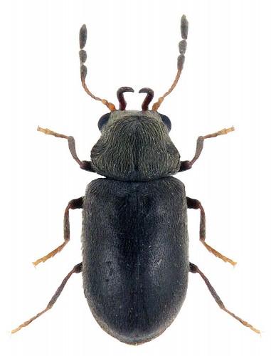 Ozognathus cornutus
