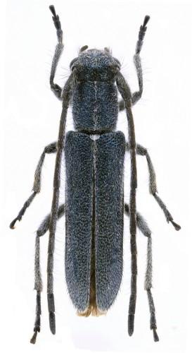 Phytoecia (O.) molybdaena